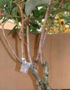 Oriental Beetle Pheromone MD Dispenser Attached to Tree