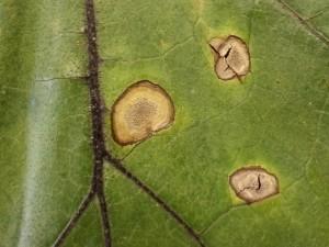 Vegetable Diseases Of The Week 8 9 13 Plant Amp Pest