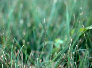 Purple and gray leaf spots on perennial ryegrass caused by Pyricularia oryzae. Photo: Richard Buckley, Rutgers PDL