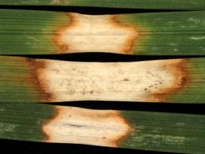 Dollar spot leaf lesions. Photo: Sabrina Tirpak, Rutgers PDL