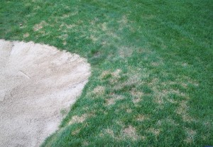 Dollar spot on bluegrass surround. Photo: Matt Roderick, Oakley Country Club