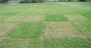 Resistance to gray leaf spots in perennial ryegrass plots. Photo: Dr. William Meyer, Rutgers University