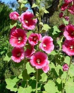 Alcea rosea flowers and seedpods. Photo: Stan Sheds, Spring Preserve Gardens