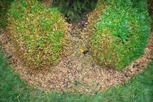 Boxwood blight. Look at all the leaves! Photo: Richard Buckley, Rutgers PDL