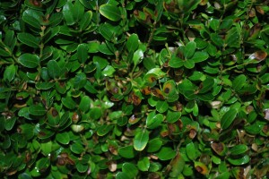 Classic boxwood blight leaf lesions. Photo: Richard Buckley, Rutgers PDL