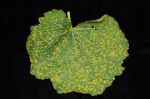Hollyhock rust infected leaf. Photo: Sabrina Tirpak, Rutgers PDL