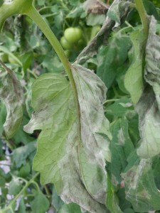 Late blight in GH Tomato; Leaf Underside