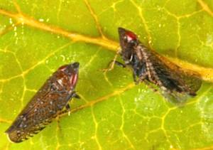 Fig 1: Sharp-nosed leafhopper adult