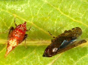 Fig 2: Sharp-nosed leafhopper nymph (L) and adult (R)