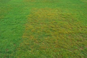 Yellowing and thinning of Kentucky bluegrass turf plot due to crown rust. Note the cultivar effect. Photo: Richard Buckley, Rutgers PDL