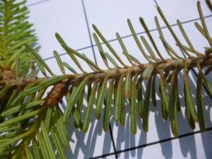 Spruce Spider Mites & Frasier-Fir