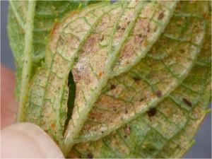Two-Spotted Spider Mites & Dormancy Preparation