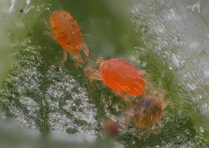 Two-Spotted Spider Mites & Orange Coloration =Kristen Hall