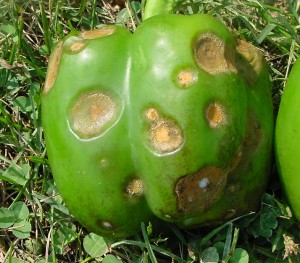 Pepper Anthracnose