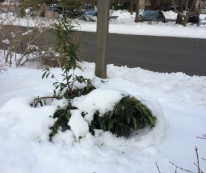 """Skip Laurel"" buried in a snow bank. Photo: Richard Buckley, Rutgers PDL"