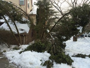 Mechanical damage to arborvitae from heavy snow. Photo: Richard Buckley, Rutgers PDL