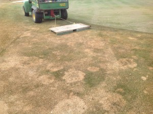 Gray snow mold is evident after the snow melts. Photo: Perry de Almeida