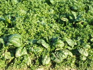 common chickweed in overwintered spinach