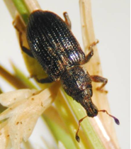 Annual Bluegrass Weevil Adult