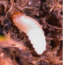 Annual Bluegrass Weevil Larvae