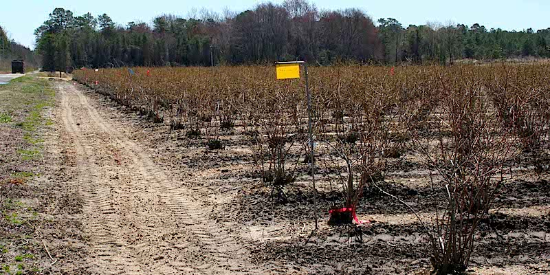 Cranberry Weevil Traps