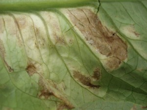 Downy mildew Lettuce