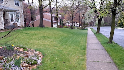 A predominately hard fescue lawn that has not reached full green-up in late April. Avoid over-fertilizing fine fescues to force green-up. Serious summer stress problems could develop.