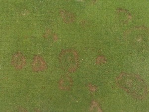 Spring outbreak of pink snow mold. Photo: Rich Joslin, John Deere Landscapes