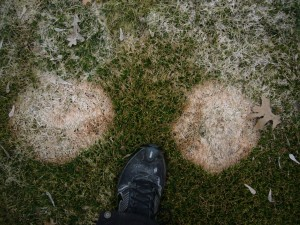 "Microdochium conidia are very mobile. Pink snow mold ""bleeds"" from patches. Photo: Justin Bicek, North Oaks Golf Club"