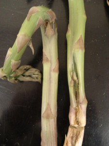 Figure 2. Mechanical injury on asparagus. Wounding causes spears to bend because one side of the spear stops developing.
