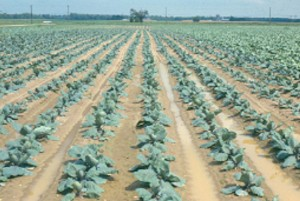 Cabbage treated pretransplant with Goal and never cultivated.