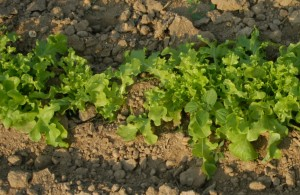 Only Prefar is labeled for use preemergence and pre-transplant in leaf lettuce.