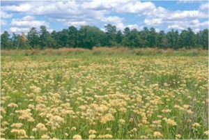 """Casoron controls or suppresses many """"hard to control"""" weeds, including redroot."""