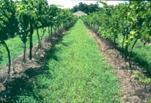 Good weed control eliminates competition, improves air circulation, and fungicide and insecticide coverage.