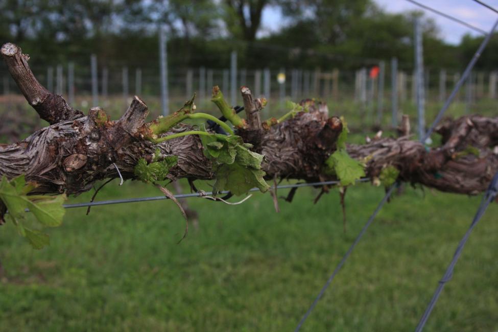 Hail-damaged Cordon on Grape Vine