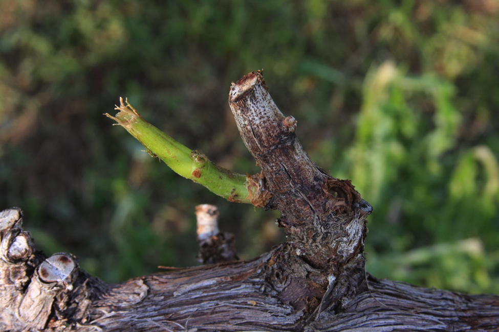 Hail-damaged Spur and Shoot on Grape Vine