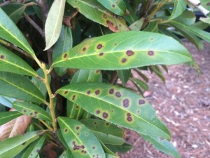Early spring leaf spots in cherry laurel. Photo: Richard Buckley, Rutgers PDL