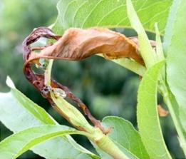 Oriental Fruit Moth