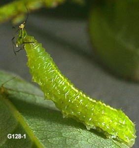 Syrphid larva feeding on Aphid