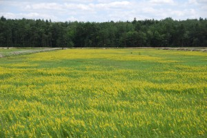Quinstar applied in mid July controls yellow loosestrife in cranberries.