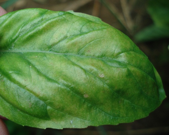 Symptoms of downy mildew on infected Sweet basil leaf.