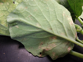 Collard-leaf-Downy-Mildew-1