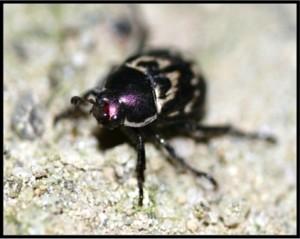 Oriental Beetle Adult