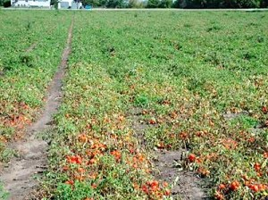 Tomato Field-Two Spotted Spider Mite Infestation