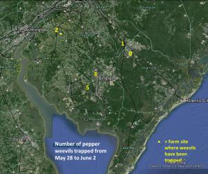 pepper weevil trap catch map 6-04-14