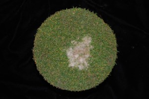 Dollar spot sample. You know things are crazy in the field when we get samples of dollar spot from golf guys! Photo: Sabrina Tirpak, Rutgers PDL