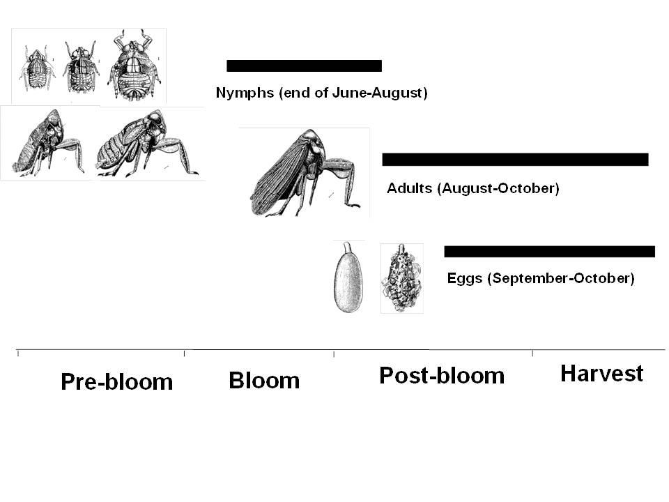 Toad Bug Life Cycle