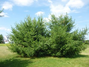 Frequent White Pine Weevil infestations during past years have caused multiple leaders on these two pines. Photo Credit: Steven K. Rettke of RCE