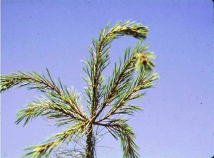 "The characteristic ""shepherd's crook"" symptoms during late May & early June indicates a White Pine Weevil infestation"