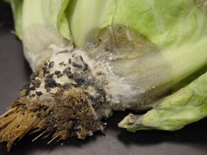 White mold on cabbage producing large, black fruiting bodies (sclerotia). The sclerotia can survive without a host for many years in the soil.